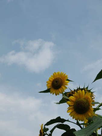 Sunflowers against blue sky with lots of copyspace
