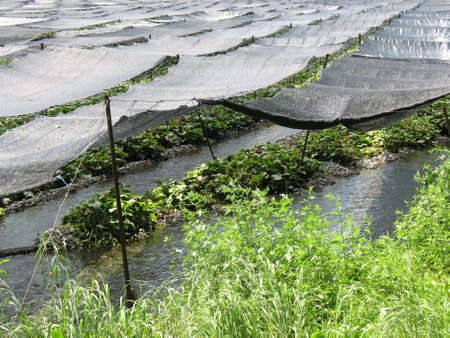 A close up of how wasabi are harvested in Japan