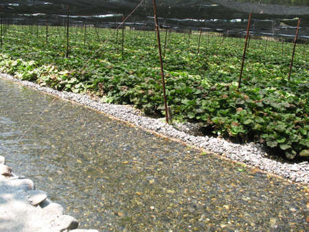 A field of wasabi being harvested in a Japanese farm