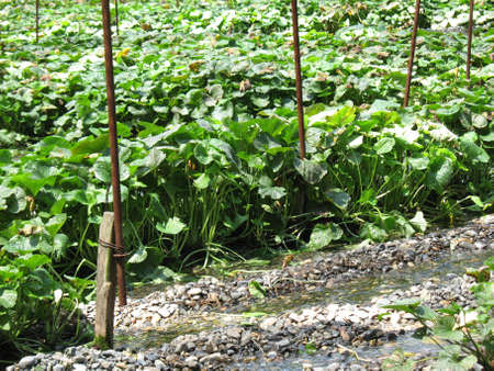 Closeup of wasabi plant being planted in a Japanese farm