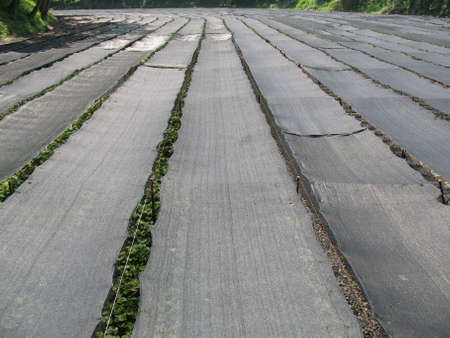 A huge wasabi field found in rural Japan