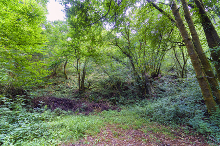 Impenetrable forest due to the brambles and vegetation that covers the ground in Galicia Mirror in a typical atlantic landscape. Without people