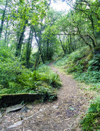Narrow path in an oak forest with ferns typical of Atlantic vegetation in Galicia, Spain