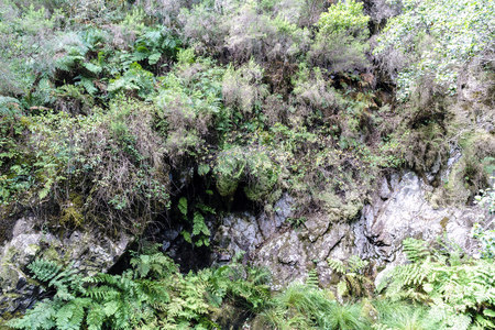 Slate rock wall covered with ferns and thorns in a typically atlantic forest in Galicia, Spain