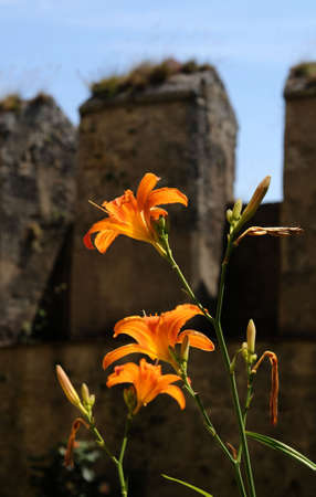 oranje lelie: Oranje lelie in een oud kasteel  Stockfoto