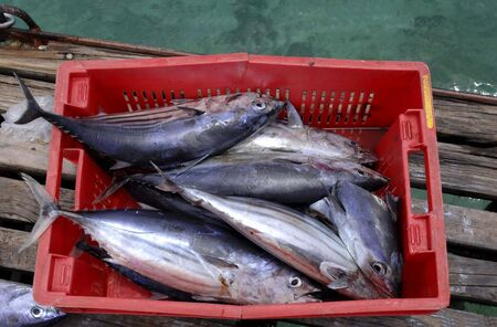 overfishing: Thunnys in a box  Stock Photo