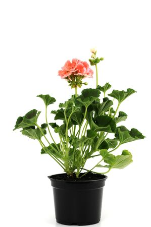 Potted plant of geranium isolated on white Stock Photo - 6567104