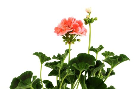 Potted plant of geranium isolated on white Stock Photo - 6567105