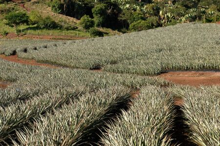 afrika: Pineapple farm at Mauritius  Stock Photo