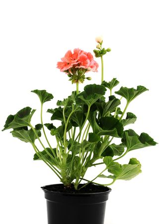 Potted plant of geranium isolated on white Stock Photo - 6633291