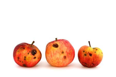 Worm-eaten apple from the own garden contra apple from the shop in first class quality Stockfoto