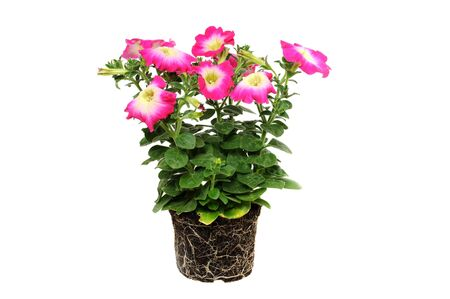 solanaceae: Petunia is a trumpet shaped, widely-cultivated genus of flowering plants of South American origin, in the family Solanaceae.