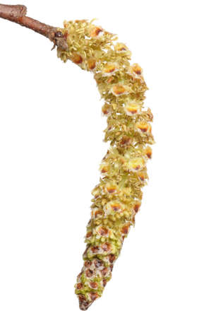 hypersensitivity: Birch catkins often cause allergies Stock Photo