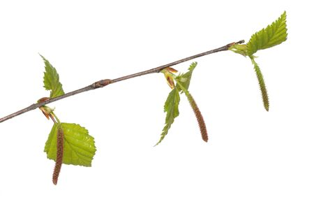 hypersensitivity: Birch catkins often cause allergies Stock Photo
