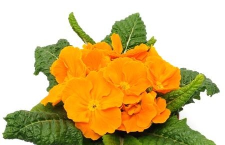 Orange primrose in a studio shot Stock Photo - 7005905