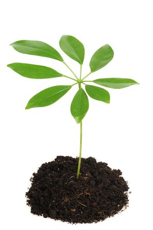 Tender seedling (Schefflera) in front of a white background Stock Photo - 7467843