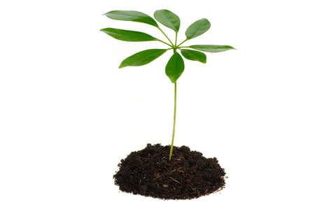 Pflanzen: Ein zartes Pfl�nzchen (Strahlenaralie) vor wei�em Hintergrund  Tender seedling (Schefflera) in front of a white background