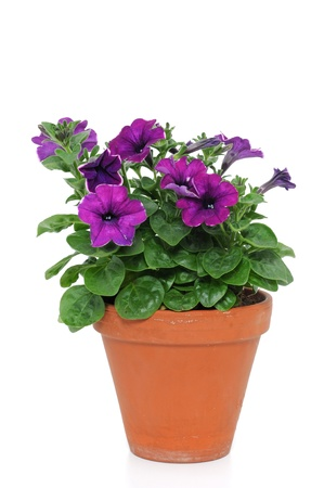 origin: Petunia is a trumpet shaped, widely-cultivated genus of flowering plants of South American origin Stock Photo