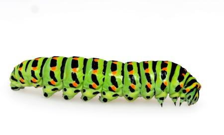 oruga: Caterpillar Papilionidae delante de un fondo blanco