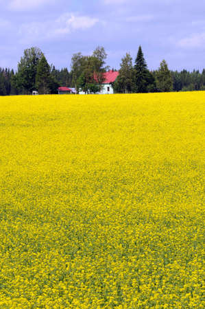 oilseed: Yellow oilseed rape near Nuijamaa in Finland Stock Photo