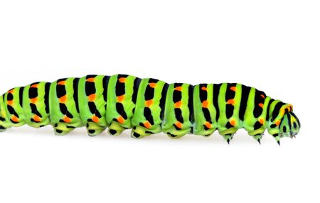 Swallowtail caterpillar in front of a white background Stock Photo - 12471149