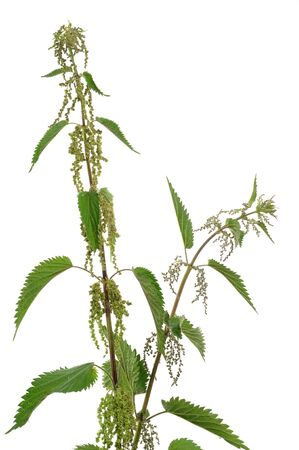 stinging  nettle: Stinging nettle in front of a white studio background