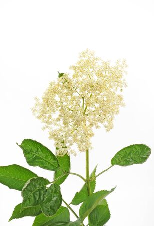 elder tree: Elder in front of a white background