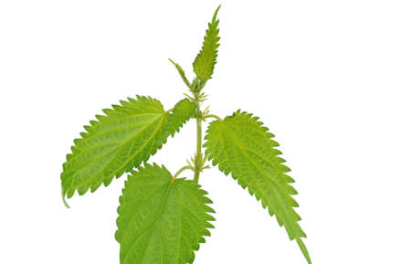 stinging  nettle: Young stinging nettle in front of a white studio background