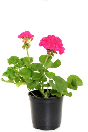 Cranesbills are often used flowers for the balcony Stockfoto