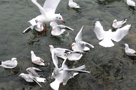 Hungry gulls pounce on the bird seed photo