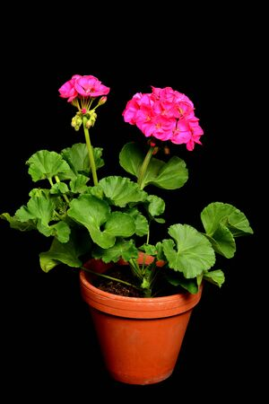 geranium color: Cranesbills are often used flowers for the balcony