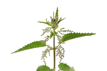 Stinging nettle in front of a white studio background photo