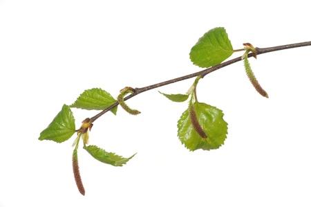 hypersensitivity: Birch carkins often cause allergies Stock Photo