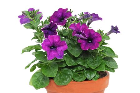 Petunia is a trumpet shaped, widely-cultivated genus of flowering plants of South American origin photo
