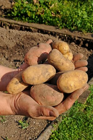 Potato lifting in the kitchen garden photo