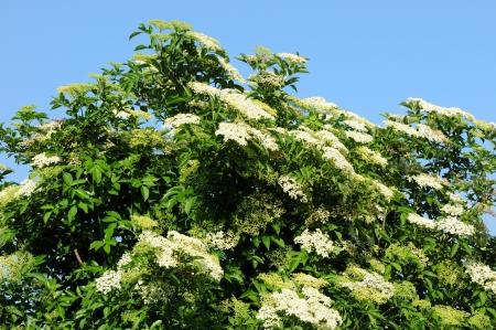 elder tree: Elder in front of a blue sky Stock Photo
