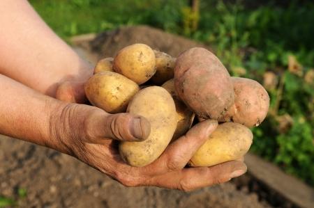 Potato lifting in the kitchen garden