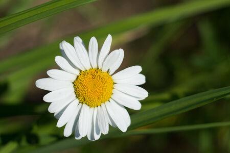 matricaria: Flower of matricaria