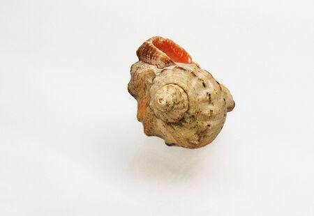 Sea shell close-up on white Stock Photo - 5953135