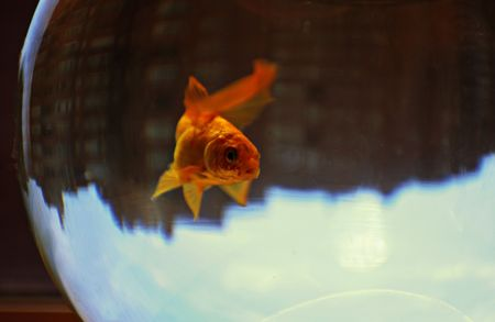 Goldfish in the bowl with the city reflected upside down photo