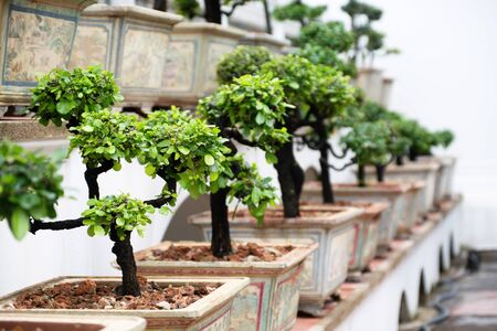 Row of bonsai trees