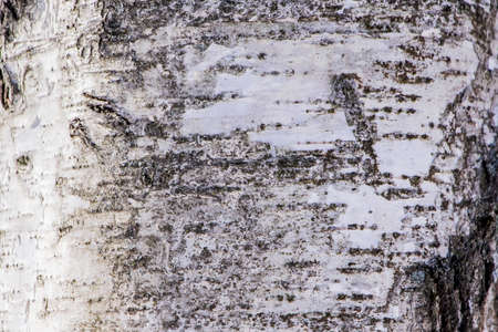 Wood texture, natural birch bark Zdjęcie Seryjne