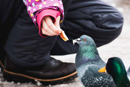 Girl feeds pigeon with bread from her hands.