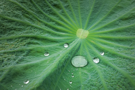 Drop water on the Lotus leaf