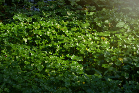 Asiatic pennyworth Asiatic Leaves Background Use Nature Background Asiatic Leaves Herb Centennial Asiatics Used as the elixir Has inhibited or slowed the growth of cancer cells Help prevent cancer. Stock Photo