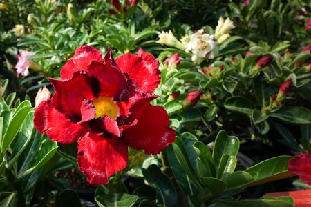 Desert rose flower (Other names are desert rose, Mock Azalea) in national garden (local name) Thailand