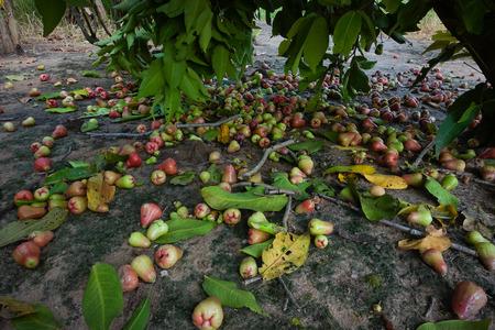 rose apple on tree in garden Stock Photo