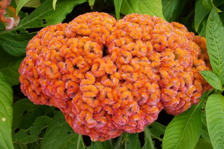 Cockscomb, Chinese Wool Flower, Celosia argentea L. var. cristata (L.) Kuntze Stock Photo