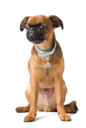 brabant griffon puppy, isolated Stock Photo
