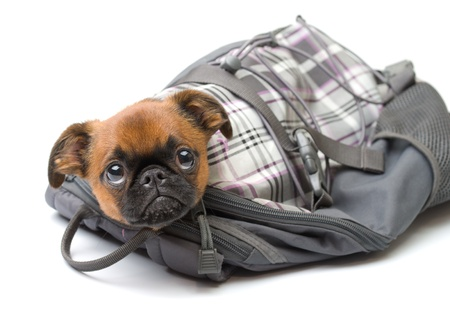 little puppy sitting in a bag,isolated Stock Photo